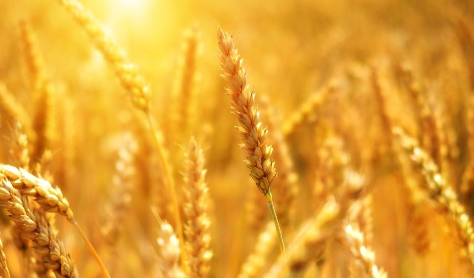 Bolivia: Arbitraje internacional por la compra de trigo transgénico